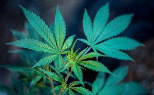 chronic pain and cannabis